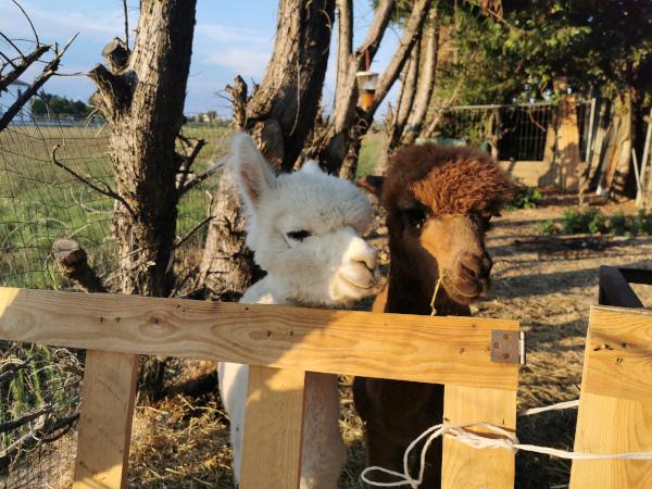 alpaca che si affacciano dal recinto